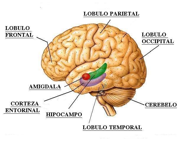 Figura-2-Ubicacion-del-Hipocampo-en-el-cerebro-humano