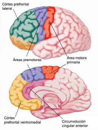 corteza prefrontal lateral