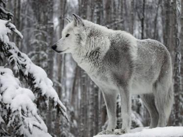 lobo invierno